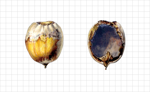 acorn illustration