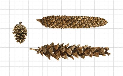 pinecone illustration