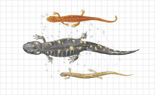 Illustration of Salamanders