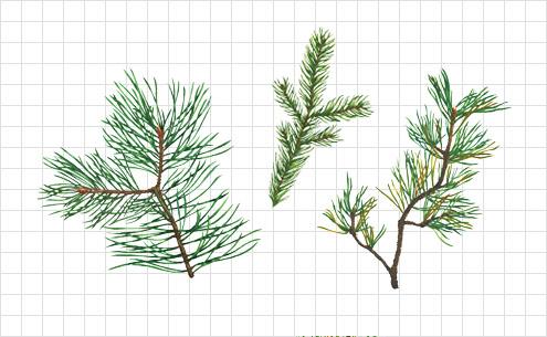 coniferous illustration