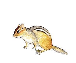 chipmunk illustration