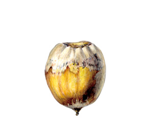 acorn illustration